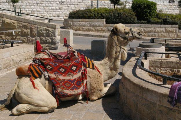 camel_israel