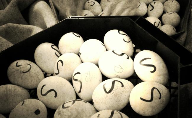 Eggs_Sigi